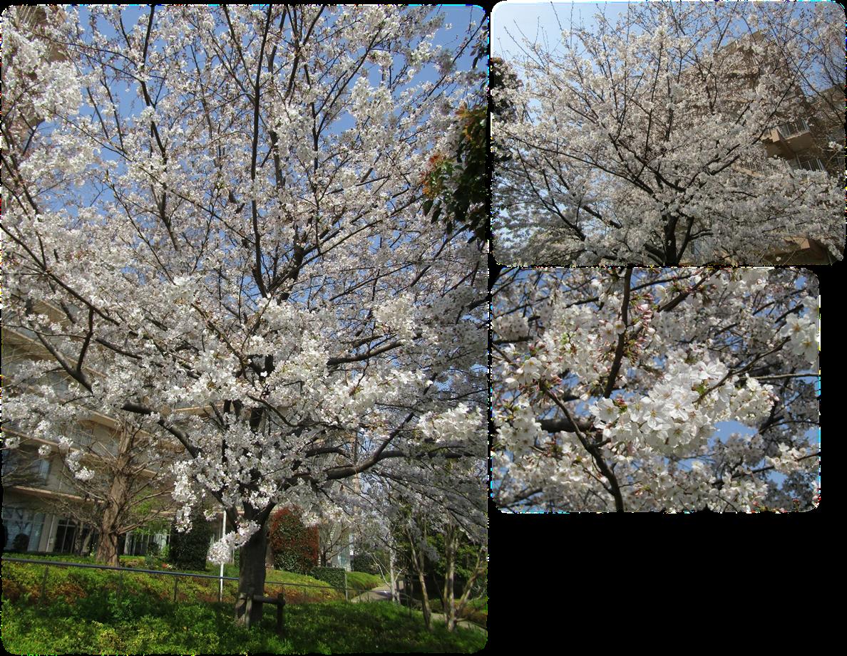 庭園の桜-3.png