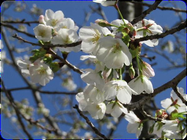 大島桜-1.png